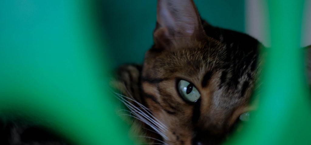 gato-bengal-cafe-com-gato