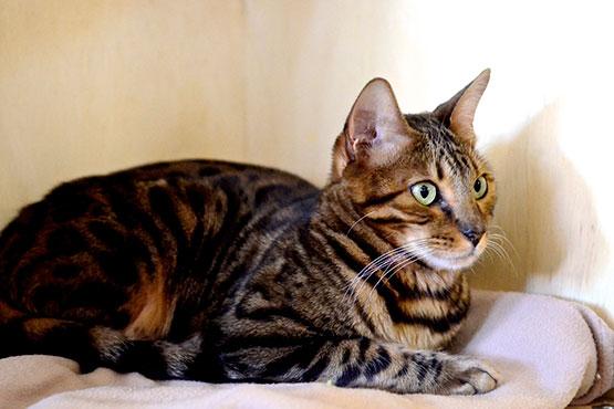bengal-cafe-com-gato