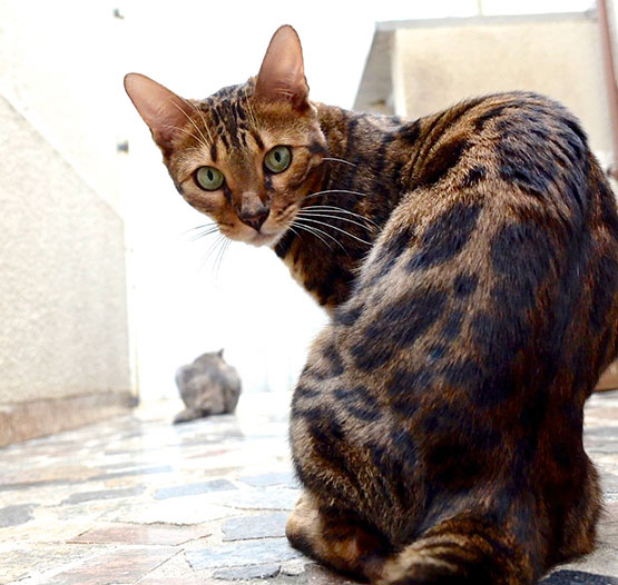 bengal-silver