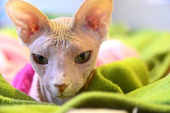 gato-sem-pelo-gato-pelado